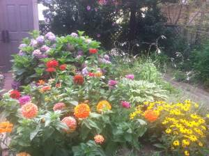Flowers do grow in Brooklyn. Zinnias in my garden, late July 2015.