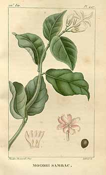 jasminesambac